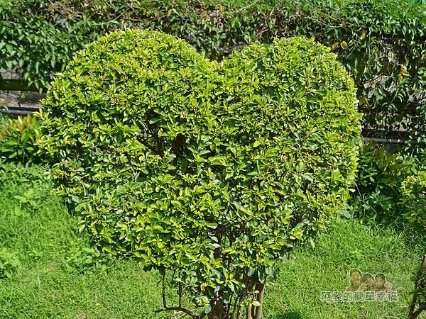 泰山繡球花步道09-心型樹叢