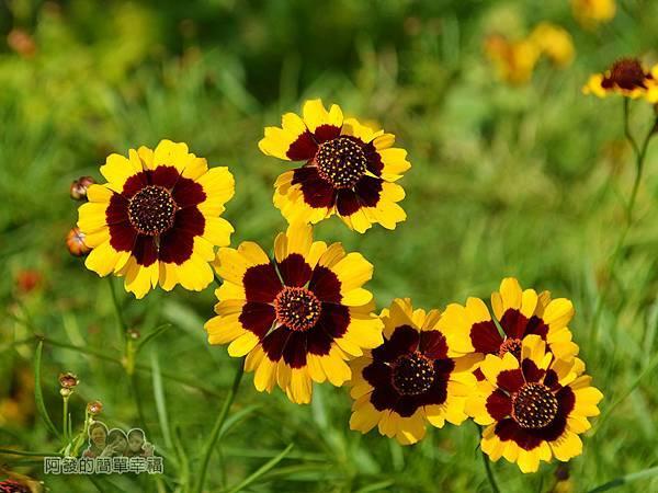 泰山繡球花步道14-小黃花