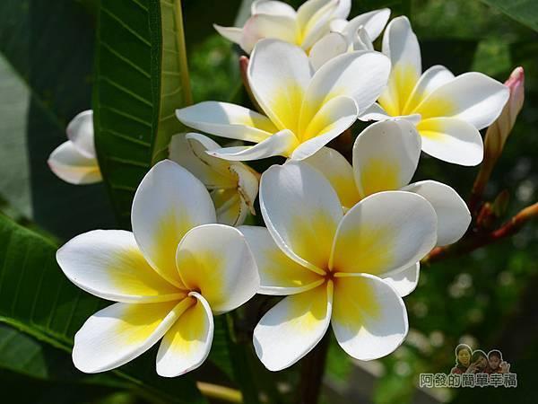 泰山繡球花步道17-一旁的雞蛋花