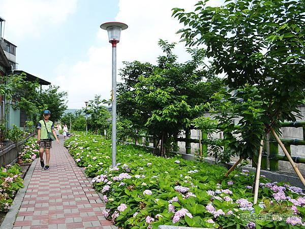 泰山繡球花步道18-傳說中的秘境-繡球花步道