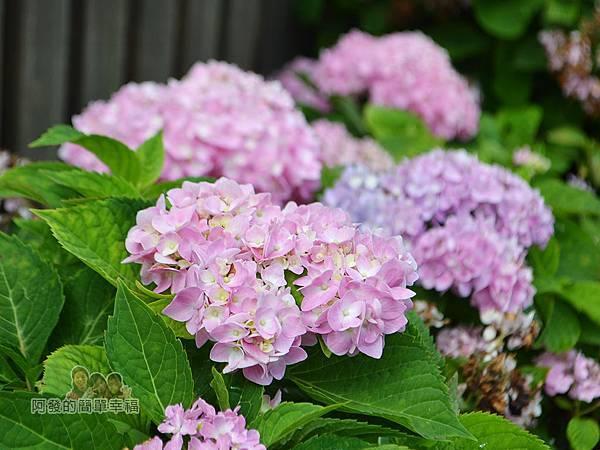 泰山繡球花步道19-淡粉紅色繡球花花叢