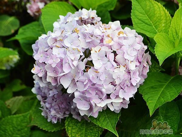 泰山繡球花步道21-淡紫色繡球花