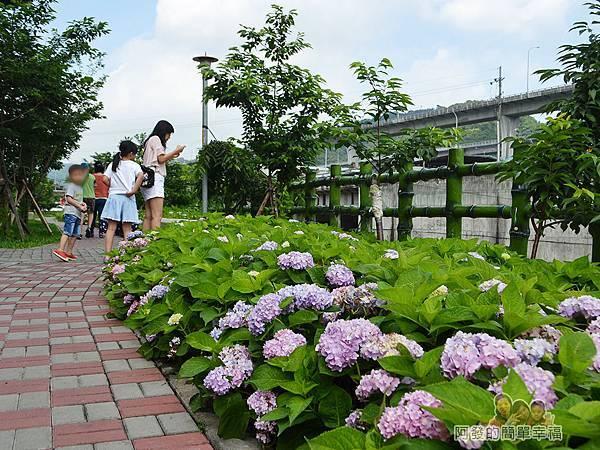 泰山繡球花步道22-親子漫步其間