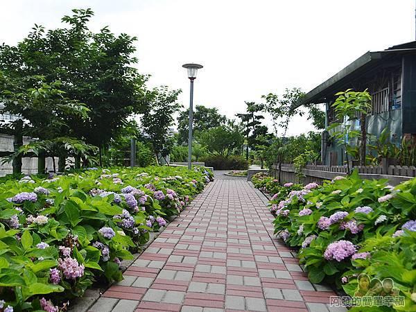 泰山繡球花步道23-兩側繡球花叢夾道歡迎