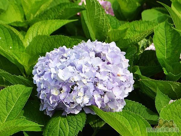 泰山繡球花步道28-淡紫色繡球花