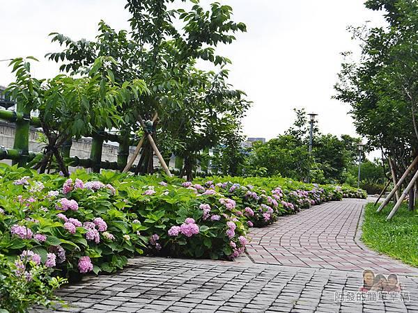 泰山繡球花步道29-沿路繡球花盛開