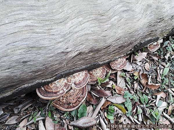 汐止拱北殿29-後山踏青步道-斷木上的香菇