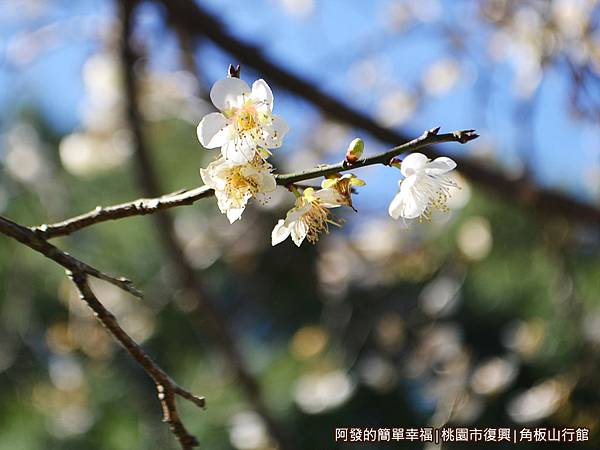 角板山08-綻放的梅花