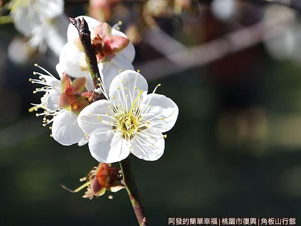 角板山19-盛綻的梅花