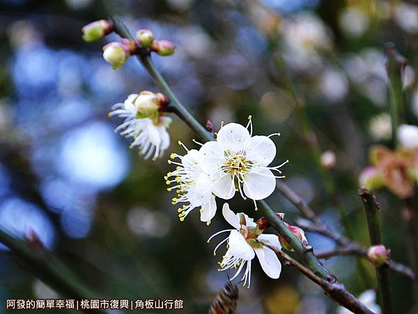 角板山21-盛綻的梅花