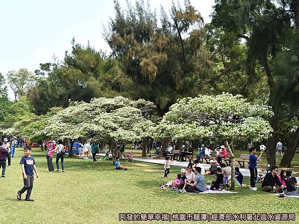 北區水資源局06-盛開的流蘇樹下野餐