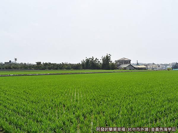 金黃色海芋田01-綠油油的稻田