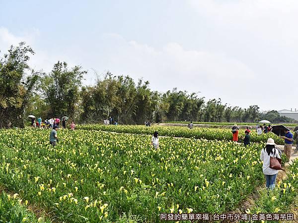 金黃色海芋田03-花海面積至少約1千6百平公尺