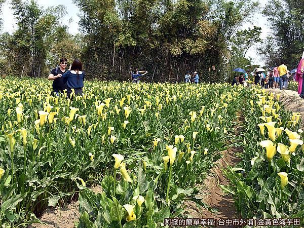 金黃色海芋田04-乾地種植
