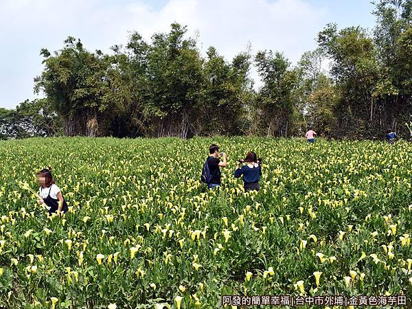 金黃色海芋田05-金黃色花海