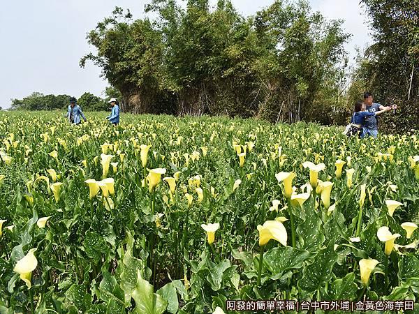 金黃色海芋田07-花叢中尋找好視點