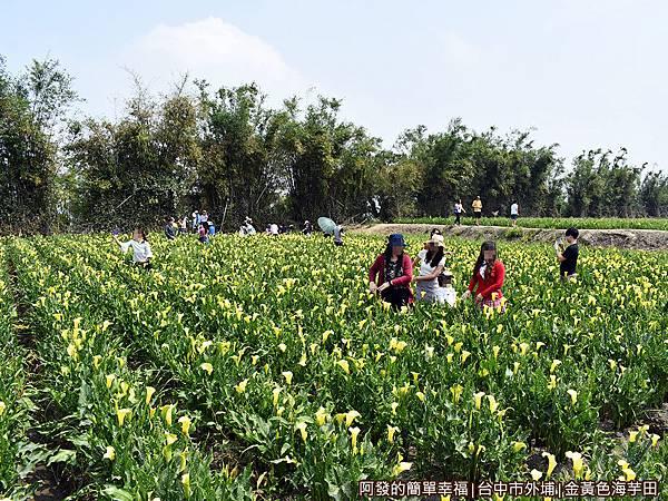 金黃色海芋田08-花田中的人們