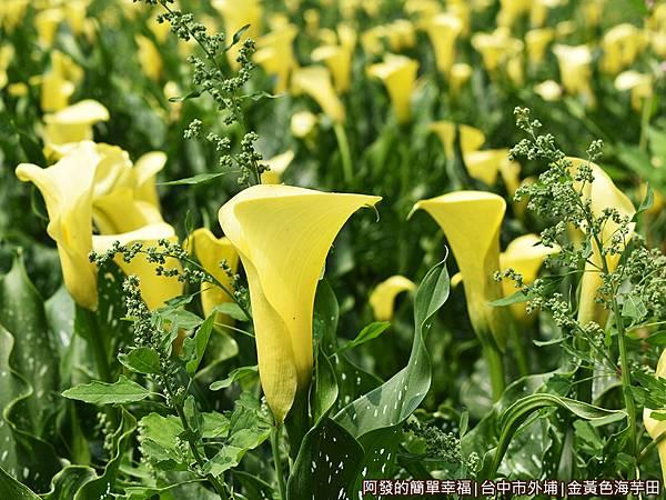 金黃色海芋田09-黃色海芋