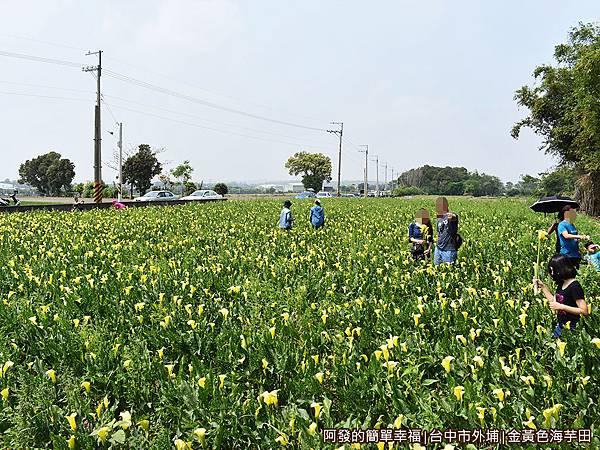 金黃色海芋田13-車子就沿路靠田邊停放