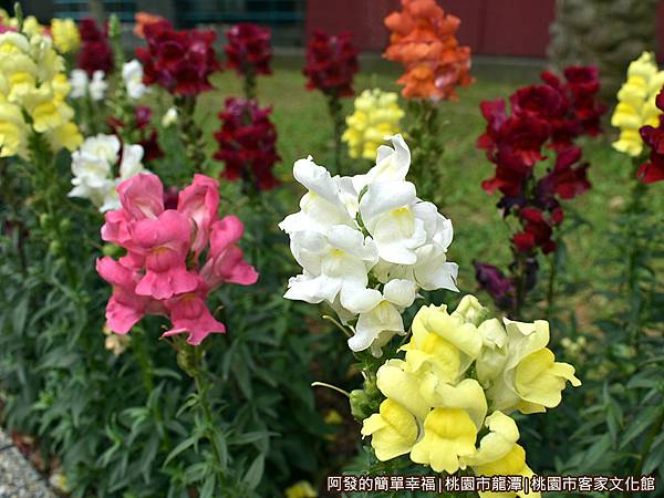桃園市客家文化館21-花圃中繽紛的花朵
