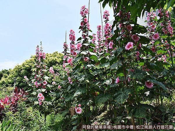 松江南路小花園05-高聳的蜀葵花.JPG