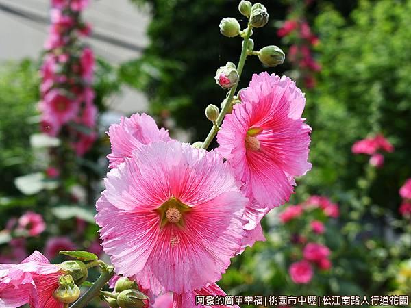 松江南路小花園07-蜀葵花.JPG