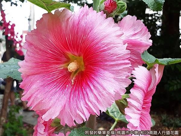 松江南路小花園09-蜀葵花特寫.jpg