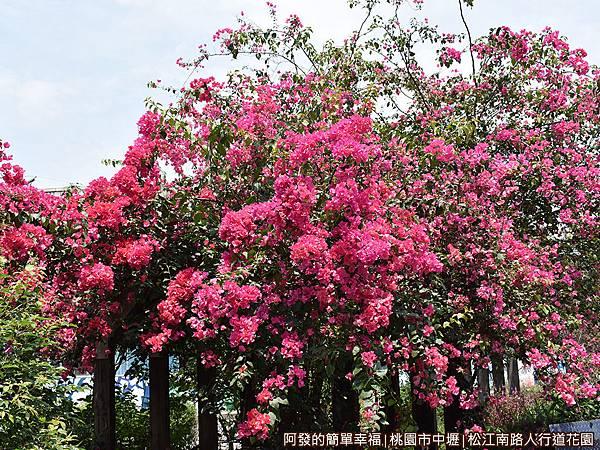 松江南路小花園14-花亭上怒綻的九重葛.JPG
