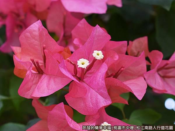 松江南路小花園17-九重葛特寫.JPG