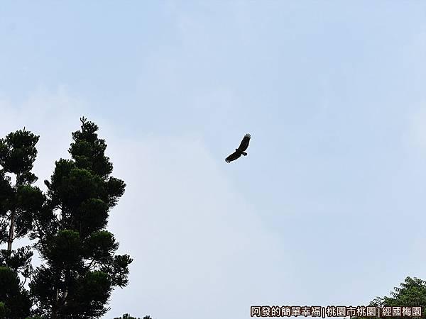 經國梅園22-天上翱翔的老鷹.JPG