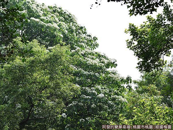 經國梅園02-桐花樹梢花開如靄靄白雪.JPG