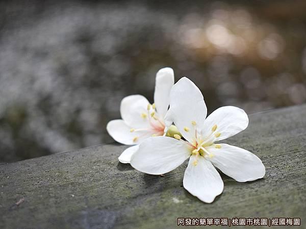 經國梅園09-池畔旁木欄杆上的落花.JPG