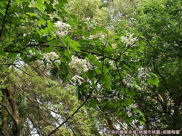 經國梅園13-樹梢上的桐花.JPG