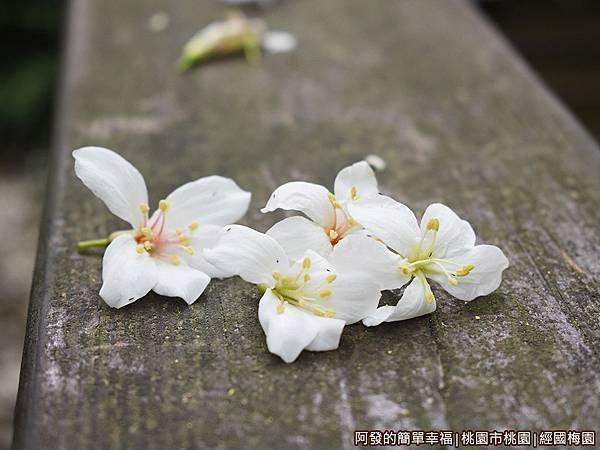 經國梅園18-階梯木欄杆上的落花.JPG