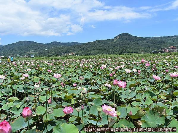 清水濕地牡丹蓮花田05-牡丹蓮開的頗為密集.JPG