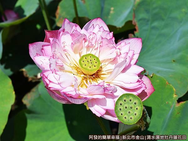 清水濕地牡丹蓮花田09-綻放的牡丹蓮.JPG
