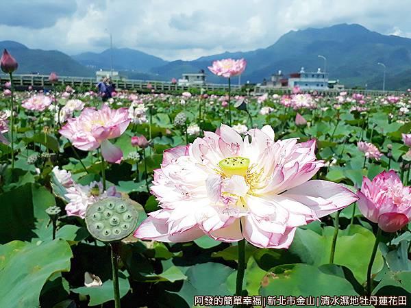清水濕地牡丹蓮花田12-滿滿盛開的牡丹蓮.jpg