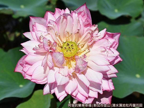 清水濕地牡丹蓮花田16-怒綻的牡丹蓮.JPG