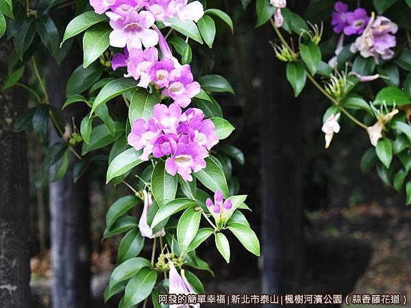 楓樹河濱公園15-蒜香藤如藤蔓般垂下.JPG