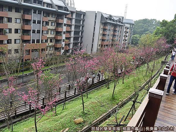 長庚養生文化村19-木棧道兩旁種植整排的八重櫻.JPG