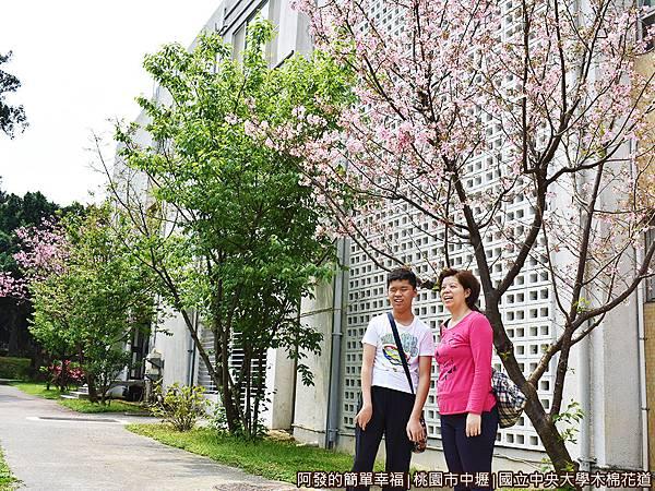 中央大學木棉花道15-隨處可見盛開的吉野櫻.JPG