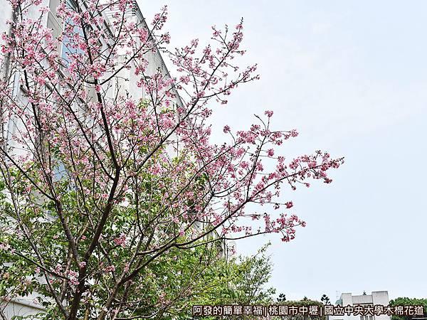 中央大學木棉花道16-吉野櫻與藍天.JPG