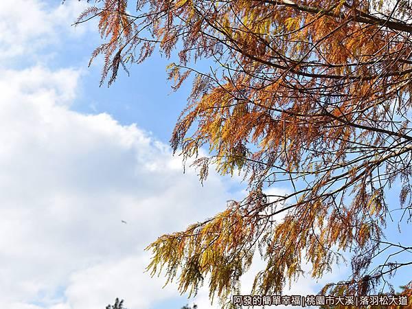 大溪落羽松大道02-翠綠色的落羽松到了冬天漸轉為黃褐色.JPG