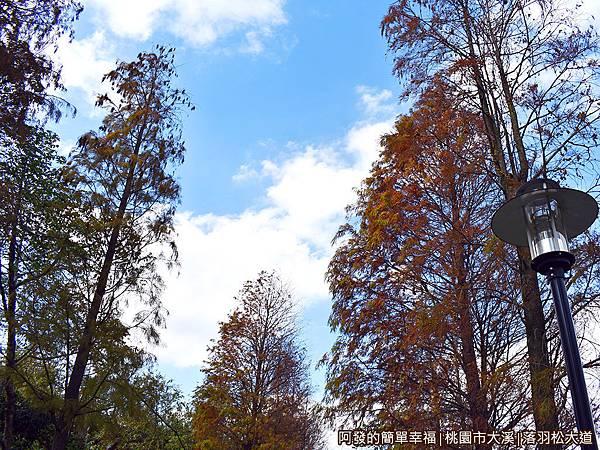 大溪落羽松大道06-落羽松樹梢與藍天白雲.JPG