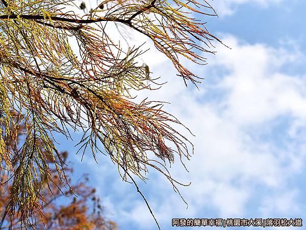 大溪落羽松大道19-如羽毛般的枝葉.JPG