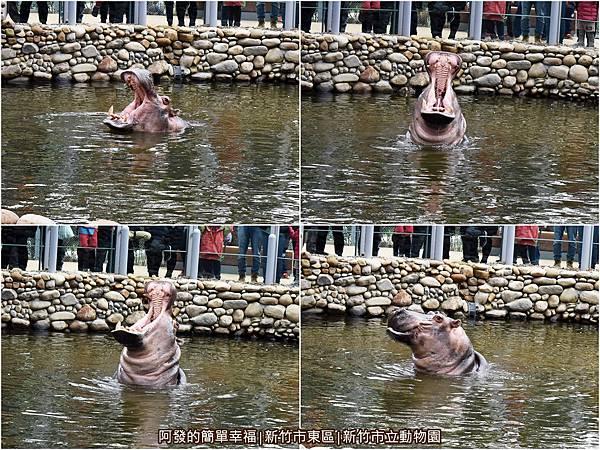 新竹市立動物園24-河馬組圖.jpg