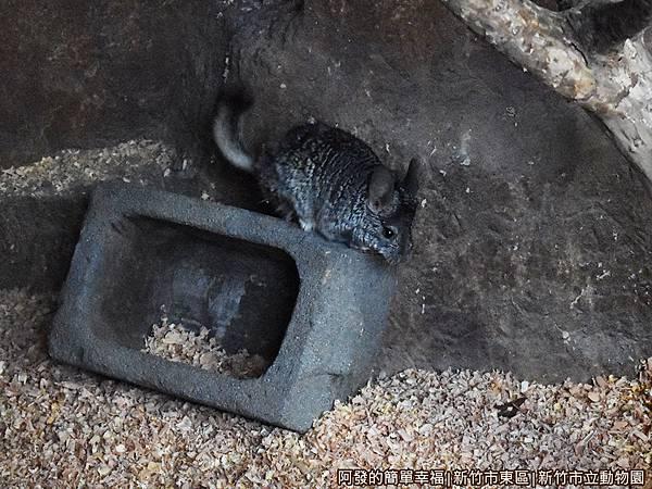 新竹市立動物園33-絨鼠.JPG