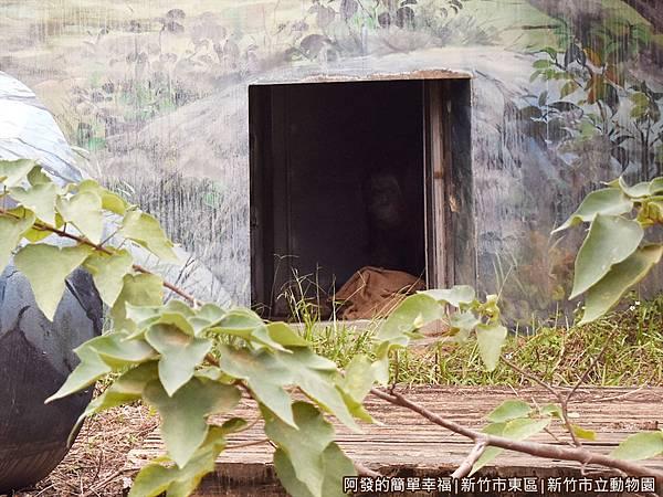 新竹市立動物園34-紅毛猩猩.JPG