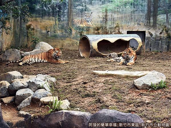 新竹市立動物園35-孟加拉虎.JPG
