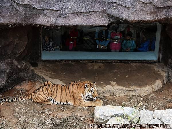 新竹市立動物園36-孟加拉虎特寫.JPG